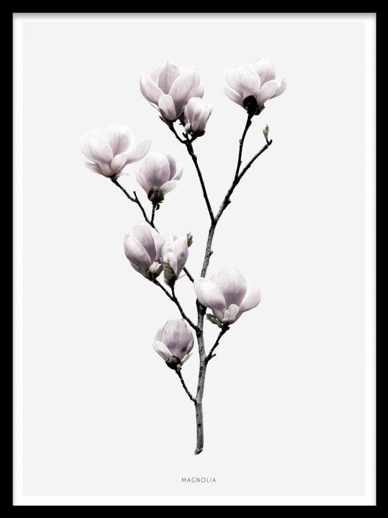 Magnolia, poster i gruppen Posters och prints / Fotografier hos Desenio AB (7911)