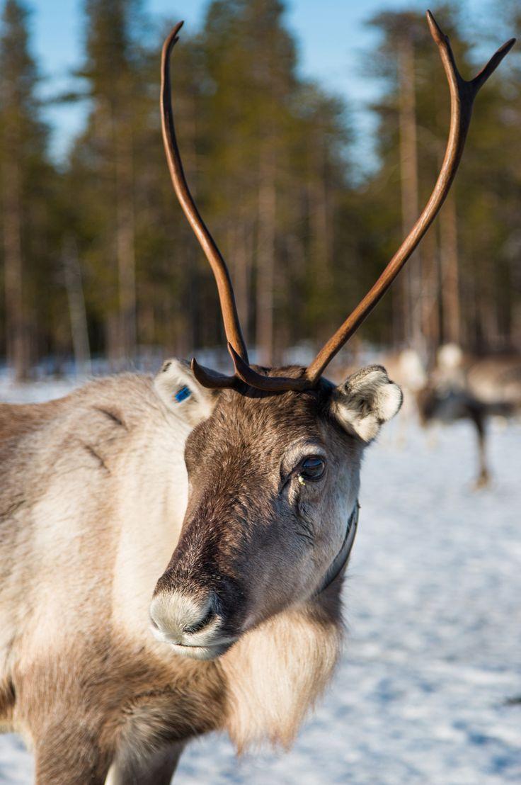 Renne in Lapponia finlandese