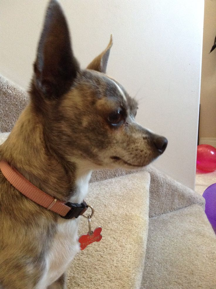This is my dog Chloe She is a chihuahua.