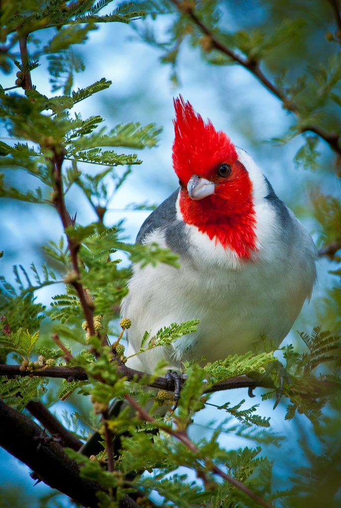 The Red-crested Cardinal (Paroaria coronata) It is found in northern Argentina, Bolivia, southern Brazil, Paraguay and Uruguay.