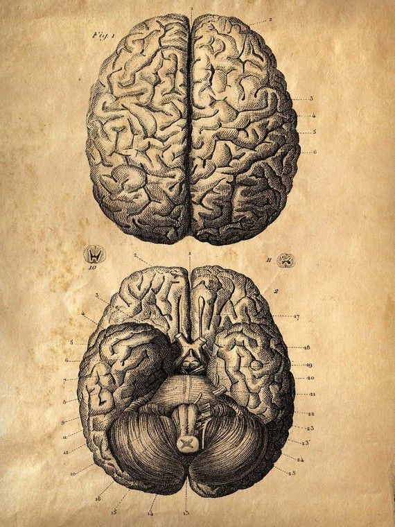 Vintage Anatomy Brains: This prints comes from a salvaged old anatomy text. The…