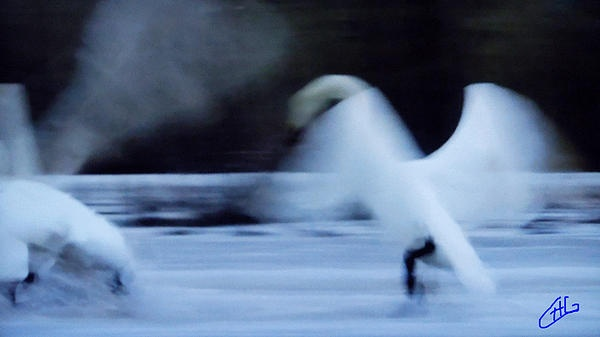 Swan dance in Nature.Photography Colette H . Guggenheim