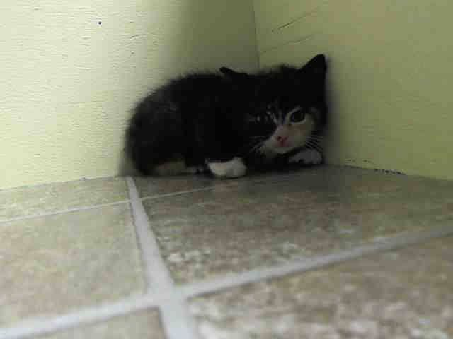 TO BE DESTROYED 6/5/14 ** BABY ALERT! ONLY 4 WEEKS OLD!! FEMALE. NO MOM. EATING BY ITS OWN; APPETITE GOOD. LITTER: A1001717, 718, 719, 720, 721. ** Brooklyn Center  My name is TONKA. My Animal ID # is A1001717. I am a female calico amer sh mix. The shelter thinks I am about 4 WEEKS old.  I came in the shelter as a STRAY on 06/01/2014 from NY 11414. I came in with Group/Litter #K14-179534.