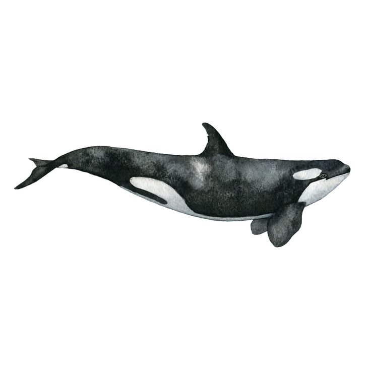 The Killer Whale is a part of The Whale Collection. It's a mammal of high contrast; both in its colors of black and white, but also in my perception of them. I believe them to be humble creatures, in contrast to their harsh name, killer whale. The Killer Whale is a hand painted watercolor which has been printed on fine art paper, multi natural 270g, that has a gorgeous off white tone. You will find the print in three different sizes A5, A4 and A3. All prints are locally pain...