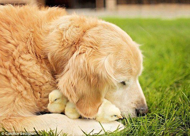 Antiguo softie: La improbable amistad entre un perro perdiguero de oro y multitud de polluelos suaves se revela en una serie de fotos de primer plano capturado por el fotógrafo de Los Angeles, Candice Sedighan
