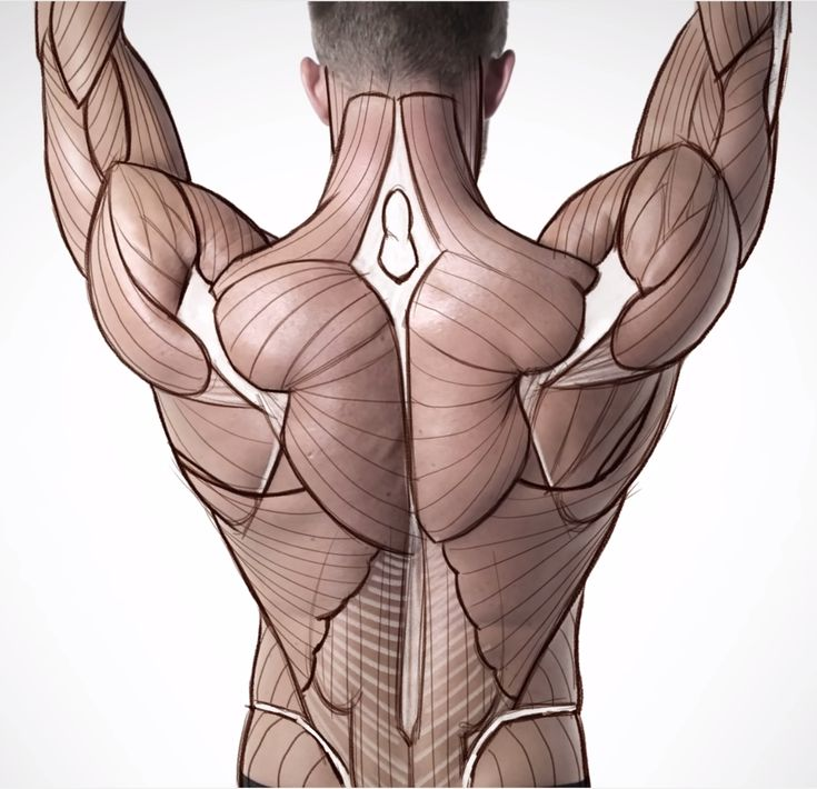 Anatomy construction back muscles