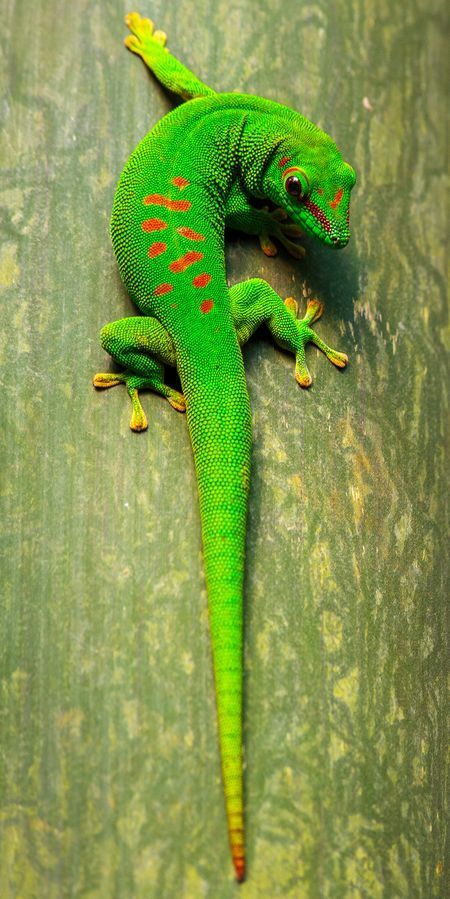 Green Gecko Photo by Tony Fernandez -- National Geographic Your Shot