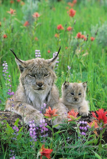 Canada Lynx and kitten in wildflowers in the Bridger Mountains in Montana. Captive Aniimal
