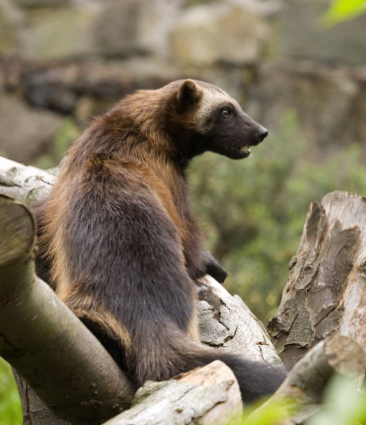 Wolverines are members of the mustelid family (the same family as otters, badgers, stoats etc.) and are known for being fearless.  They will hunt prey much larger than themselves and also steal prey from much larger predators.
