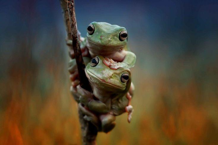 Indonesia, mano nella mano: coppia di rane in posa sull'albero