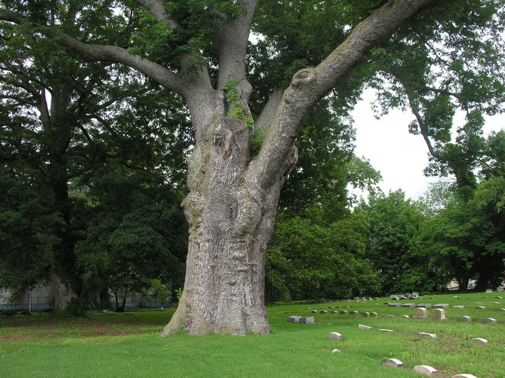 Image result for american oak tree
