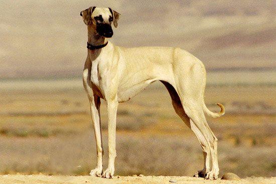 sloughi - Google keresés | greyhound | Dogs, Cute dogs ...