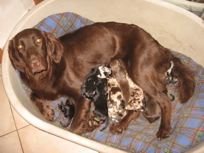 Aussie-Flat information and pictures Australian Shepherd x Flat Coated Retriever Hybrid Dogs Aussie-Flats