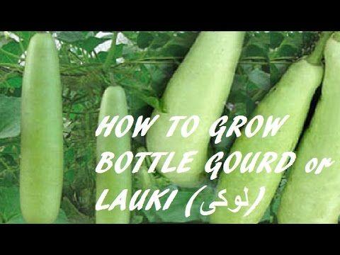 How to grow Bottle Gourd or Lauki II Long-Bottle-Gourd-Vegetable-Lauki-L...