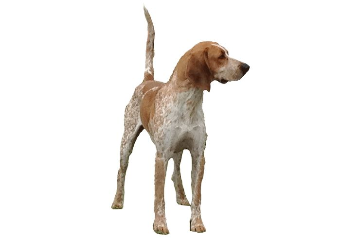 A American English Coonhound