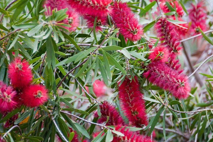 By Jackie Carroll Bottlebrush plants (Callistemon spp.) get their name from the spikes of flowers that bloom at the ends of the stems, bearing a strong resemblance to a bottle brush. Grow them as shrubs or small trees that grow up to 15 feet. Most bottlebrush varieties bloom over a long summer season in shades…