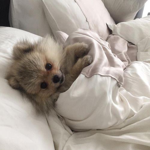 Pommie snuggling in a blankie