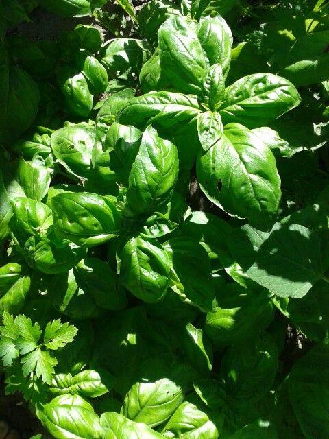 #albahaca #basilico #basil #vegan #food