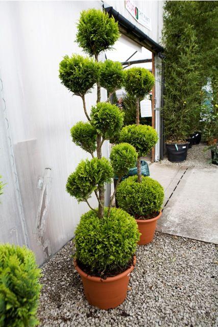 10 best images about plants on pinterest trees bonsai. Black Bedroom Furniture Sets. Home Design Ideas
