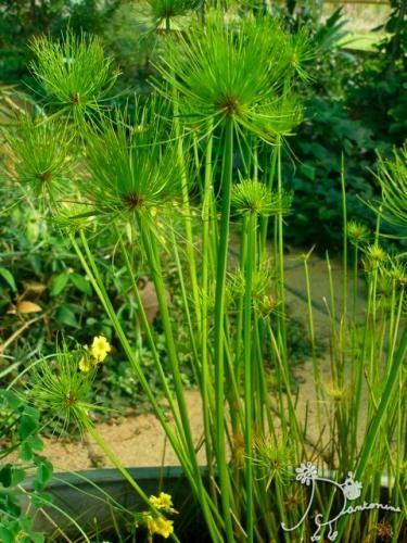 1000 ideas about cyperus papyrus on pinterest pitcher plant pond plants and water gardens. Black Bedroom Furniture Sets. Home Design Ideas