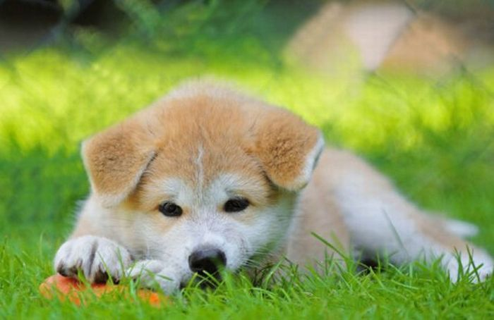 long day of playLong Day, Animal Awww Sup, 4Loveofdog Com, O' M G Puppies, Plays, Adorable, Akita Puppies, Funny Animal, Dogs Then And Now11