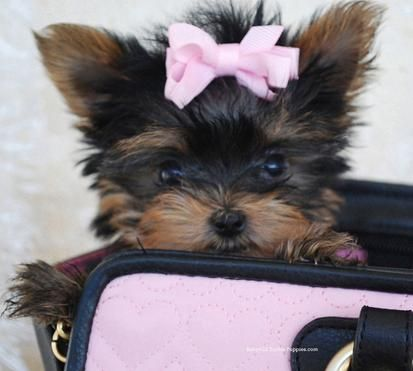 Baby Doll Yorkie Puppies Teacup Yorkie Puppies - Yorkshire Terrier Puppies For…