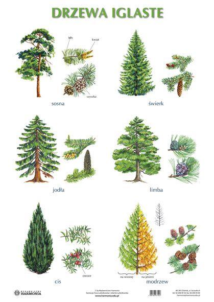 drzewa_lisciaste_iglaste_3.jpg (419×591)