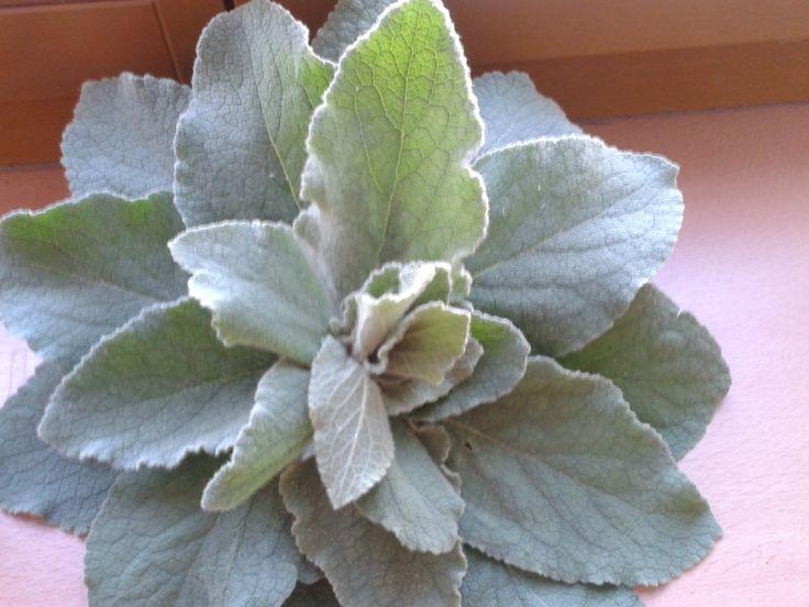 dílčí květina z divizyny
