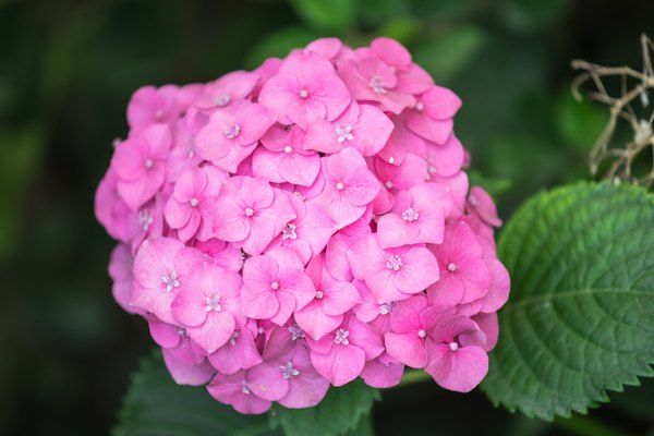 When To Plant Hydrangeas Outside In 2020 Planting Hydrangeas When To Plant Hydrangeas Plants
