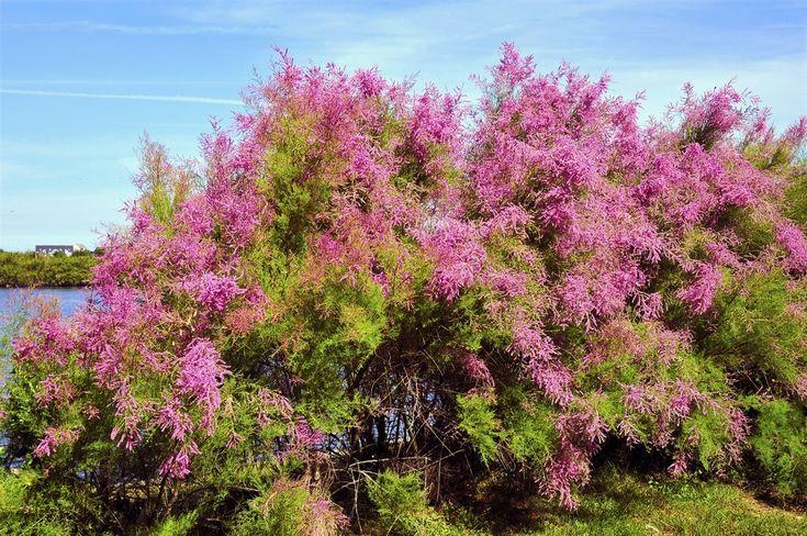 les 25 meilleures id es concernant arbres croissance rapide sur pinterest buissons en fleur. Black Bedroom Furniture Sets. Home Design Ideas