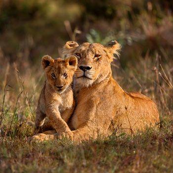 Wird der Lebensraum der Löwen weiter zerstört, wird der Bestand in den nächst…