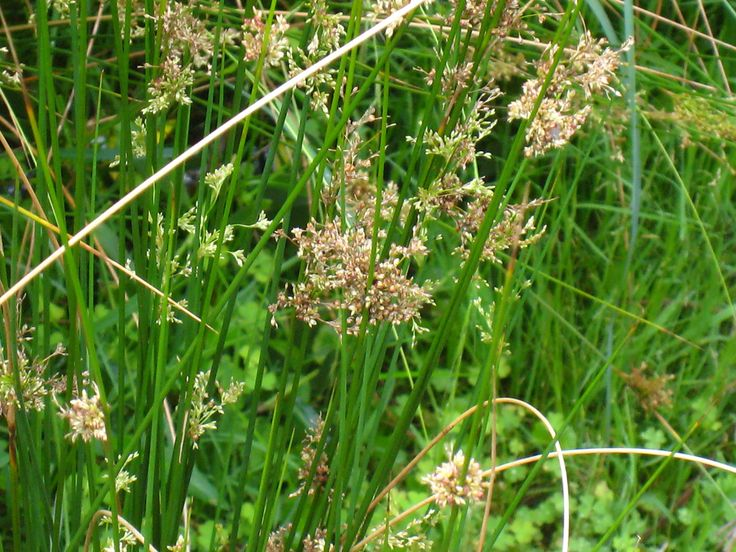 Image result for Juncus planifolius