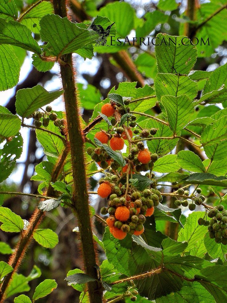 Zomba Mountain has the most delicious mountain forest fruits...
