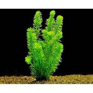 Elodea Densa Plant Live Aquarium Fish Tank Plant Egeria Goldfish Weed Oxygenator Waterplants