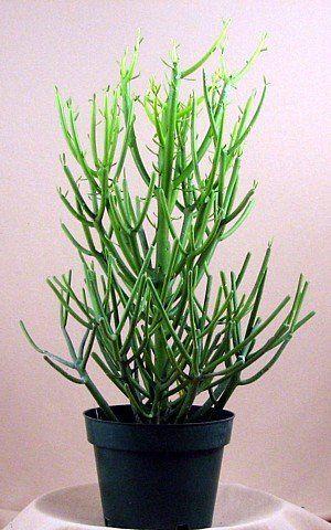 84 Best Images About Cactus Succulents On Pinterest