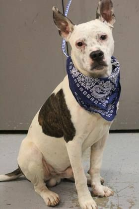 ADOPTED> NAME: Ghost  ANIMAL ID: 34259100 BREED: Dalmatian mix  SEX: male(altered)  EST. AGE: 7 mos  Est Weight: 40 lbs  Health: Heartworm neg  Temperament: dog friendly, people friendly  ADDITIONAL INFO: RESCUE PULL FEE: $35  Intake date: 12/20  Available: Now