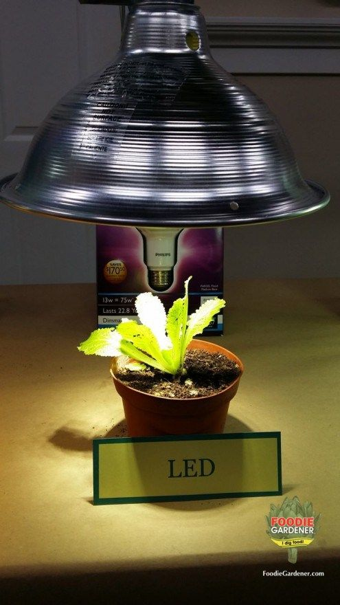 Led Bulb Grow Light Lettuce Foodie Gardener Blog Foodie