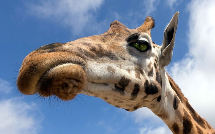 Giraffe HD Photos  Animal Desktop Backgrounds Wallpapers Image 1920×1080 Giraffe Images Wallpapers (41 Wallpapers) | Adorable Wallpapers