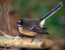 Fantail - Native NZ Bird