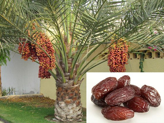 Images of dates fruit plant