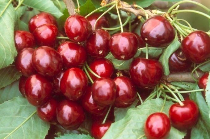 cerises 'Bigarreau Geant d'Hedelfingen' , Photo de Cerisier, Cerisier 'bigarreau geant d'hedelfingen' - Prunus avium 'Bigarreau Geant d'Hedelfingen' | Toutes les plantes avec Florum