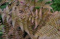 Dryopteris erythrosora groenblijvend 60cm