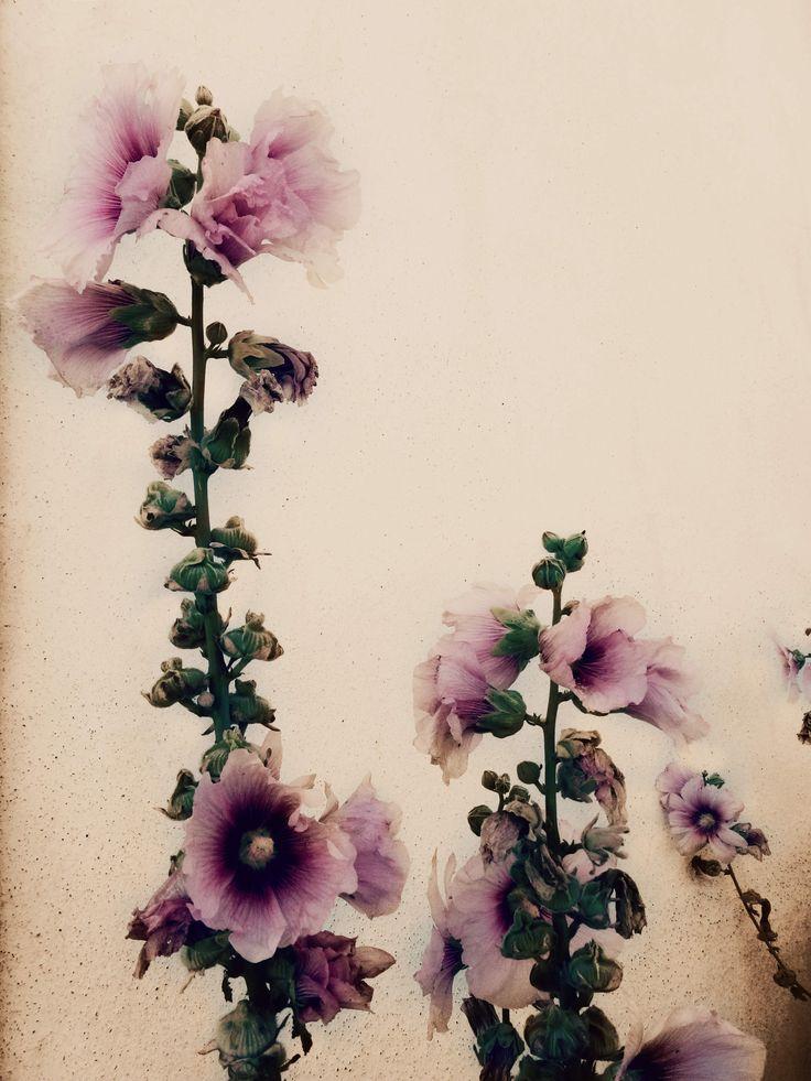 Roses trémières de l'Ile de Ré