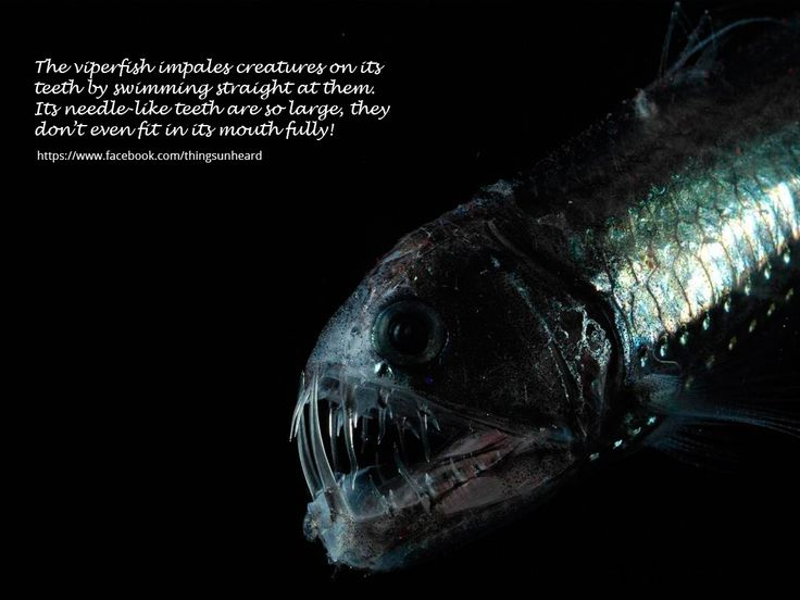 The viperfish impales creatures on its teeth by swimming straight at them. Its needle-like teeth are so large, they don't even fit in its mouth fully!