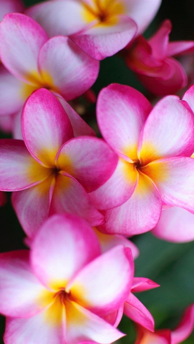 Flower close-up of pink, plumeria