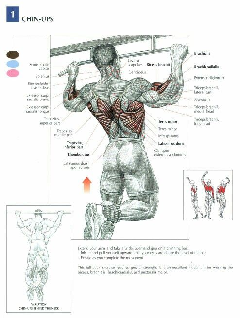 Pull ups : anatomy                                                       …