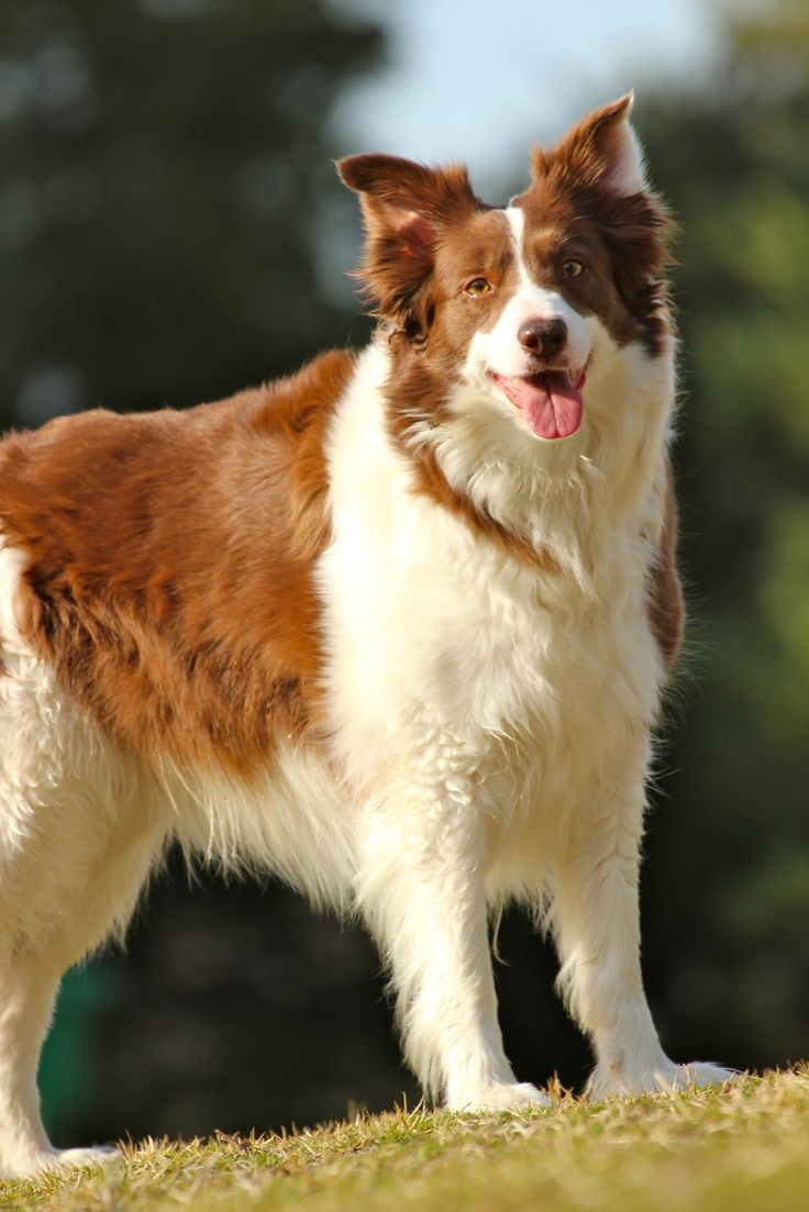 Border Collie Game