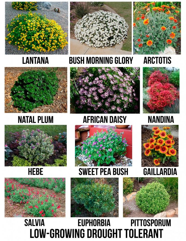 Drought tolerant flowering shrubs for san diego for Low growing landscape plants