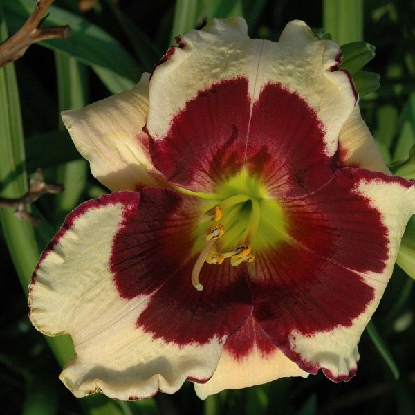 3294 best dagliljor hemerocallis images on pinterest