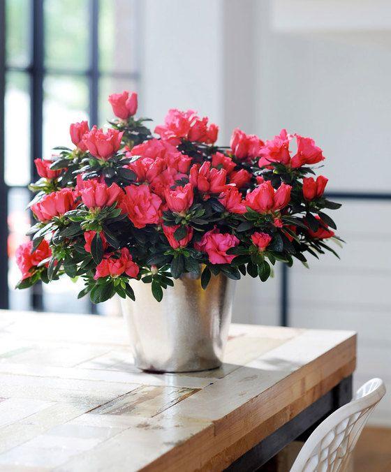 Japanse azalea 'Terra Nova' product foto